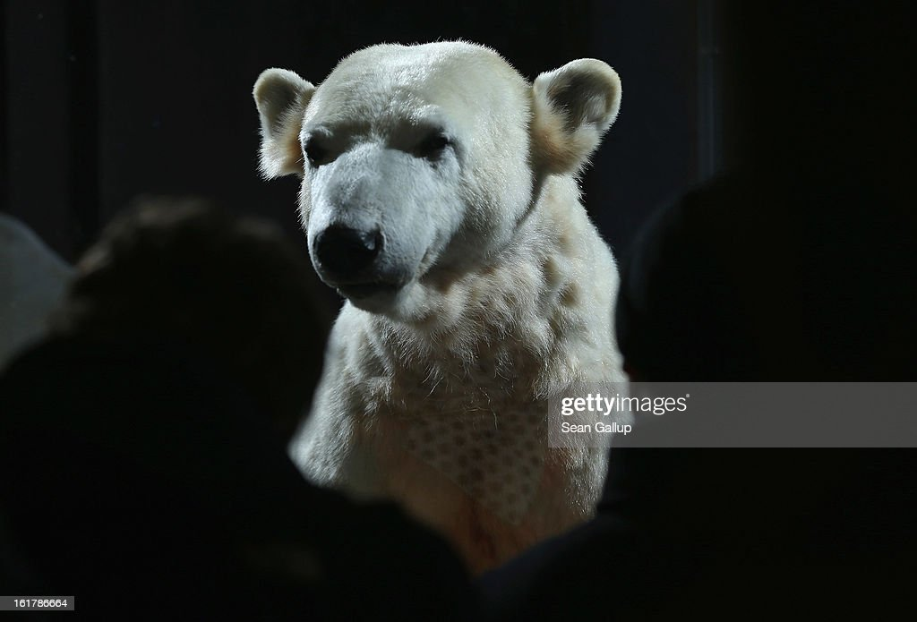Visitors look at a model of Knut the polar bear, that features Knut's original fur, on the first day it was displayed to the public at the Natural History Museum on February 16, 2013 in Berlin, Germany. Though Knut, the world-famous polar bear from the Berlin zoo abandoned by his mother and ultimately immortalized as a cartoon film character, stuffed toys, and more temporarily as a gummy bear, died two years ago, he will live on additionally as a partially-taxidermied specimen in the museum. Until March 15, the dermoplastic model of the bear will be on display before it joins the museum's archive, though visitors can see it once again as part of a permanent exhibition that begins in 2014.