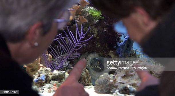 Visitors look at Florence a common octopus who has given birth to eight babies in her aquarium at the Fakenham Garden centre in Norfolk and now the...