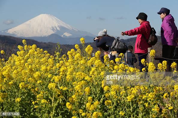 Visitors look at rapeseed blossoms as Mt Fuji looms in the background at Azumayama park in the town of Ninomiya in Kanagawa prefecture on January 10...