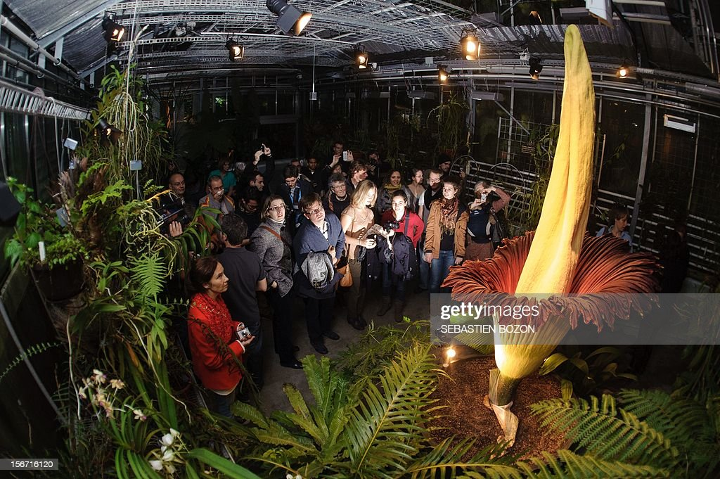 Visitors look at the Arum Titan 'Amorphophallus titanum', the largest flower in the world, as it blossoms for a second time on late November 19, 2012 at the Botanical Garden in Basel. The flower has a 2.27 meters high yellow pistil and a red-brown petal-shaped funnel. Its tuber weighs more than 30 pounds. Botanical Garden's experts are surprised by the second blossoming, less than 20 months. Many curious are awaited to observe the short-term phenomenon despite the smell of rotting meat generated by the plant. AFP PHOTO / SEBASTIEN BOZON