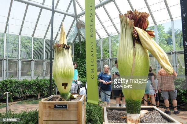 Visitors look at two corpse flowers at the Chicago Botanic Garden in Chicago Illinois on June 2 2017 It is unusual enough to see one of nature's...