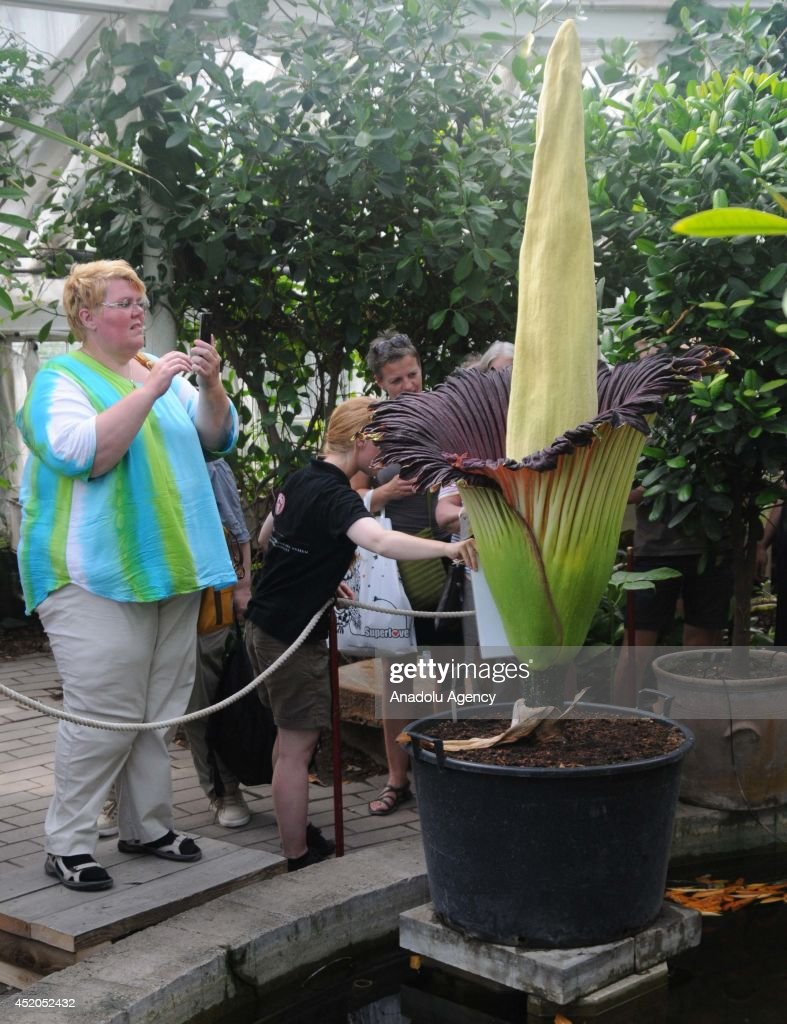 Visitors of Copenhagen Botanic Garden take photos in front of the Titan Arum in Copenhagen, Denmark on July 9, 2014. The titan Arum also known as Corpse Flower produces one of the largest flowering structures and one of the foulest odors in the plant kingdom. With its huge flowering structure rising up to three meters above the ground, and its single immense leaf, it certainly is a giant among plants, as its name suggests. It blooms only a few times in its 40-year life span, and the bloom lasts for two and a half days at the most.