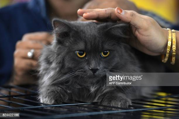 Visitors pat Sheru a Siberian cat during the 8th International Cat Show organised by the World Cat Federation in Bangalore on July 30 2017 / AFP...