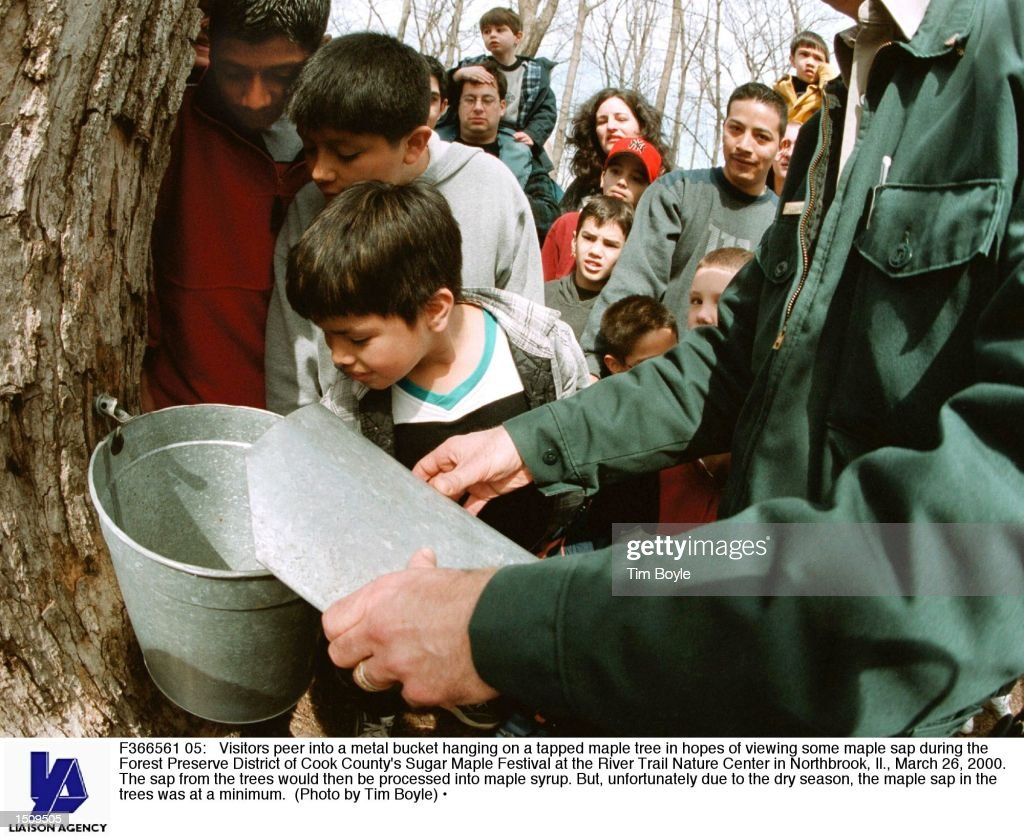 Visitors peer into a metal bucket hanging on a tapped maple tree in hopes of viewing some maple sap during the Forest Preserve District of Cook...