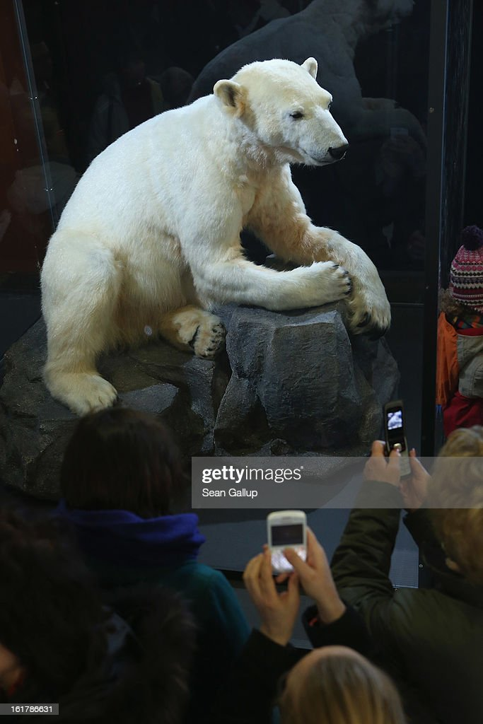 Visitors photograph a model of Knut the polar bear, that features Knut's original fur, on the first day it was displayed to the public at the Natural History Museum on February 16, 2013 in Berlin, Germany. Though Knut, the world-famous polar bear from the Berlin zoo abandoned by his mother and ultimately immortalized as a cartoon film character, stuffed toys, and more temporarily as a gummy bear, died two years ago, he will live on additionally as a partially-taxidermied specimen in the museum. Until March 15, the dermoplastic model of the bear will be on display before it joins the museum's archive, though visitors can see it once again as part of a permanent exhibition that begins in 2014.