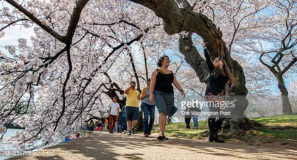 Visitors stroll beneath cherry blossoms at peak bloom around the Tidal Basin on April 2014 in Washington DC