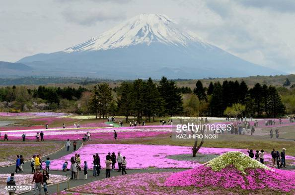 Visitors stroll in the flower garden covered by over 800000 Shibazakura or Moss Phlox in full bloom during the Fuji Shibazakura Festival at the foot...