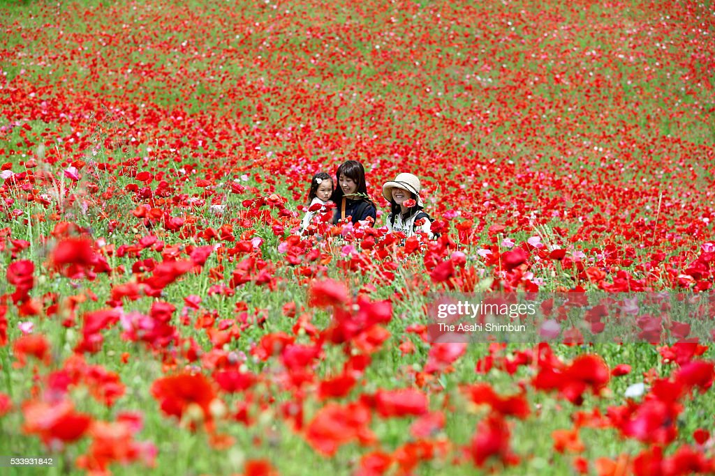 Visitors stroll in the fully bloomed poppy field at Showa Memorial Park on May 24, 2016 in Tachikawa, Tokyo, Japan. 1.8 million poppies are in bloom.