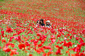 Visitors stroll in the fully bloomed poppy field at Showa Memorial Park on May 24 2016 in Tachikawa Tokyo Japan 18 million poppies are in bloom