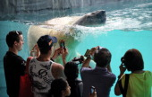Visitors take photos of 'Inuka' a male polar bear as it swims in its pool enclosure at the Singapore Zoo on May 29 2013 The 22yearold polar bear the...