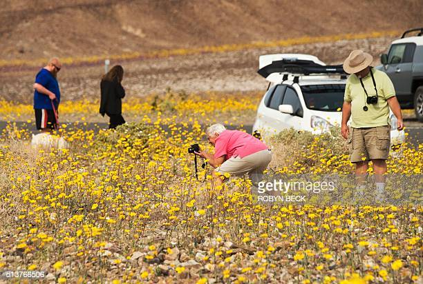 Visitors take photos of wildflowers in Death Valley National Park in Death Valley California March 3 2016 Unusally heavy rainfall in October trigged...