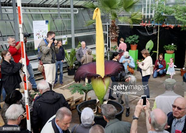 Visitors take pictures of a twometer high Titan Arum flower first time blossoming on September 11 2017 at Botanic Garden in Bochum / AFP PHOTO / dpa...