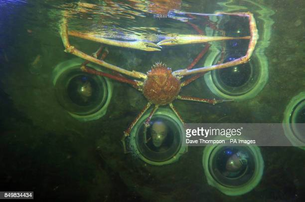 Visitors to Blackpool's Sea Life Centre get a close up look at a Japanese Spider crab named Big Daddy as it settles in to its new home at Blackpool's...