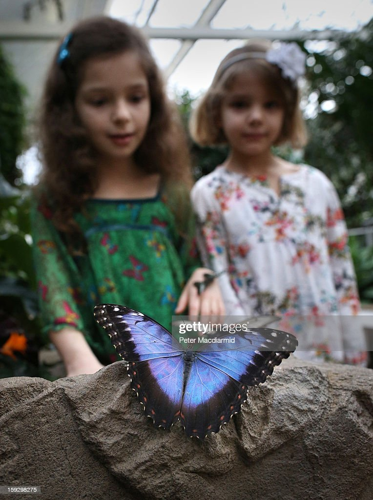 Visitors to The Glasshouse at RHS Wisley Gardens look at butterflies on January 11, 2013 near Woking, England. Rare and exotic butterflies have been placed in The Glasshouse for visitors from January 12 to February 24, 2013.