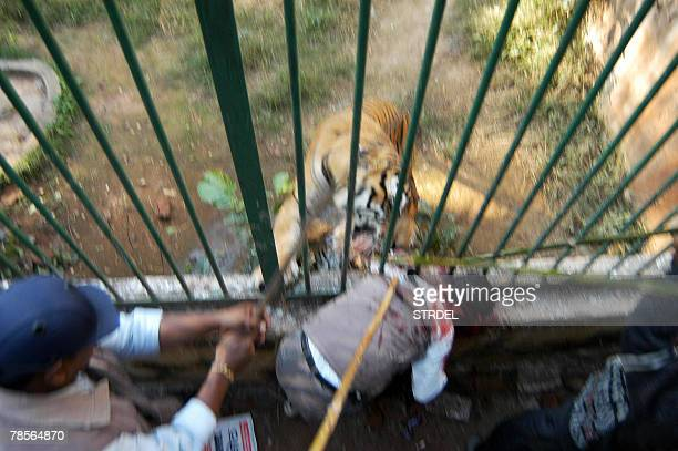 Visitors try and help a man as he is attacked by Royal Bengal Tigers at the zoo in Guwahati northeastern India 19 December 2007 The visitor was...