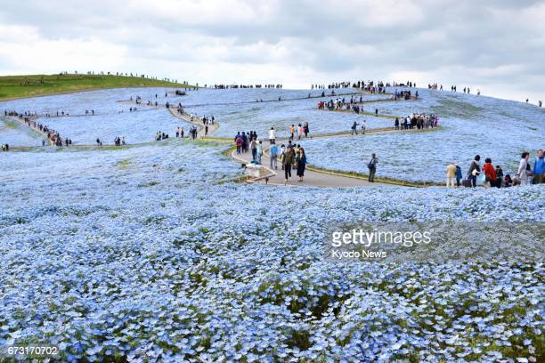 Visitors view nemophila flowers in full bloom on the hills of Hitachi Seaside Park in Hitachinaka Ibaraki Prefecture northeast of Tokyo on April 26...