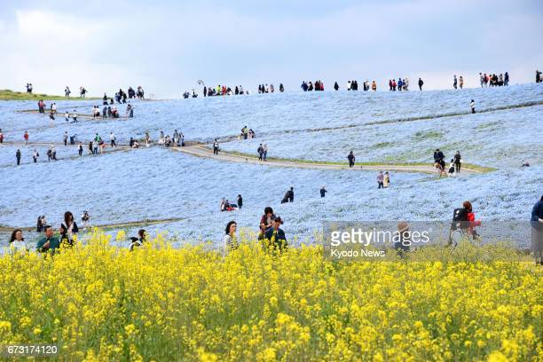 Visitors view rapeseed flowers and nemophila flowers also known as baby blue eyes on the hills of Hitachi Seaside Park in Hitachinaka Ibaraki...