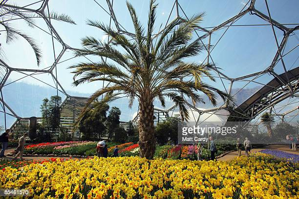 Visitors walk among the daffodills inside one of the biodomes at the Eden Project on March 17 2009 near St Austell England After one of the coldest...
