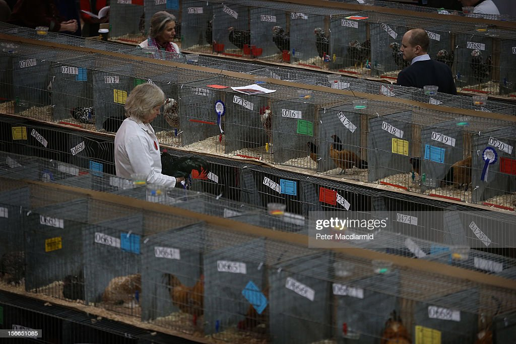 Visitors walk amongst rows of cages containing birds at The National Poultry Show on November 17, 2012 in Stoneleigh, England.Thousands of people have attended The Poultry Club's 2012 National Show. The Poultry Club was founded 1877, and was established to safeguard the interests of all pure and traditional breeds of poultry including chickens, ducks, geese and turkeys.