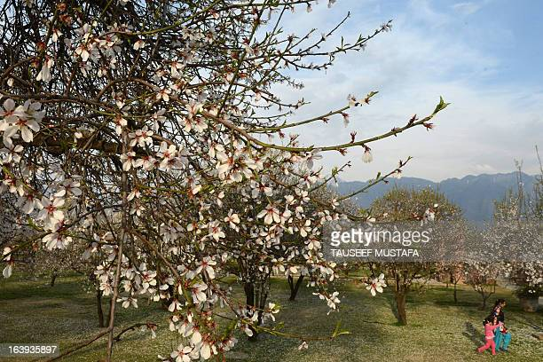 Visitors walk past blooming almond orchards as spring arrives at Badamwari in Srinagar on March 18 2013 Spring has arrived in Indianadministered...