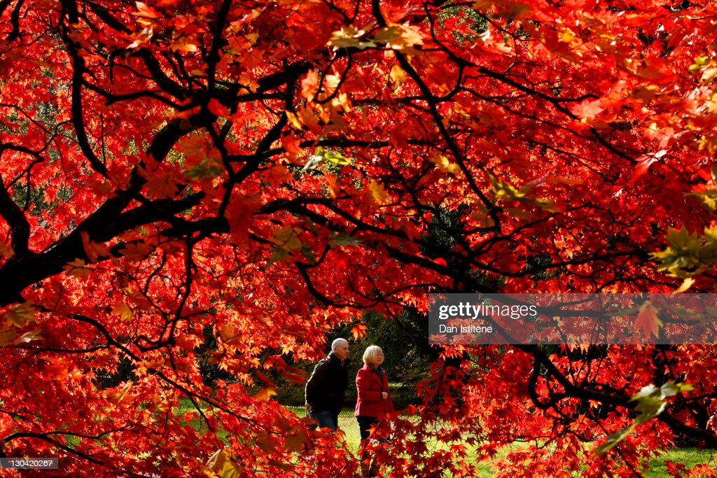 Visitors walk through Westonbirt Arboretum in the Cotswolds near Tetbury on October 26, 2011 in Westonbirt, England. The National Arboretum experiences one of its busiest times during the Autumn months as visitors flock to see the variety of colours displayed in the arboretum's tree collection.