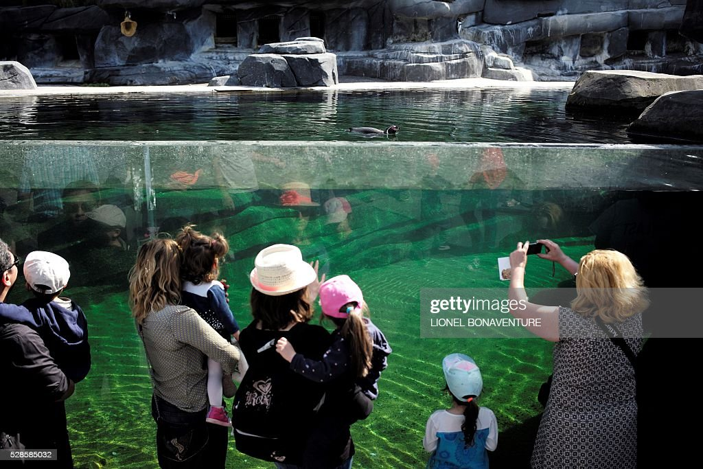 Visitors watch a Humboldt penguin swim in its pool at the zoological garden in Paris on May 6, 2016. Four Humboldt penguins were recently born at the zoo. / AFP / LIONEL