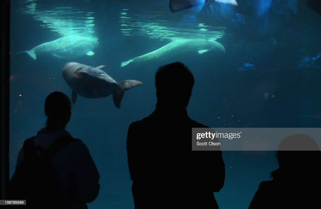 Visitors watch a slate-colored young beluga whale swim with adult belugas at the John G. Shedd Aquarium on November 20, 2012 in Chicago, Illinois. The calf, which was born Aug. 27, currently weighs 205 pounds and is gaining 12 to 15 pounds a week. Mauyak, the calf's mother, weighs 1,200-pounds. The Shedd Aquarium is a nonprofit organization that houses over 32,500 aquatic animals.