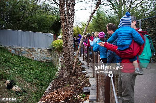 Visitors watch as a Giant Panda eats bamboo at the Smithsonian National Zoological Park in Washington DC December 28 2015 AFP PHOTO / JIM WATSON /...