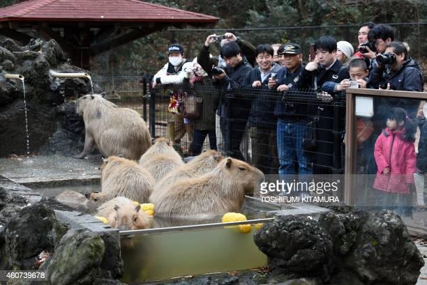 Visitors watch capybaras bathing in the hot spring water at the Saitama Children's zoo in Higashi Matsuyama city Saitama prefecture on December 21...