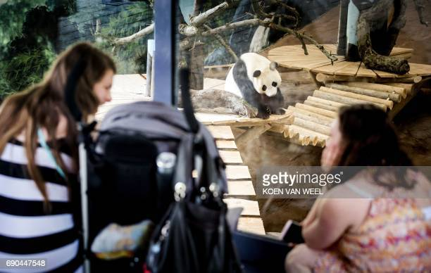 Visitors watch the giant pandas Wu Wen and Xing Ya in their giant panda base 'Pandasia' at the Ouwehand Zoo on May 31 2017 in Rhenen iant pandas Wu...