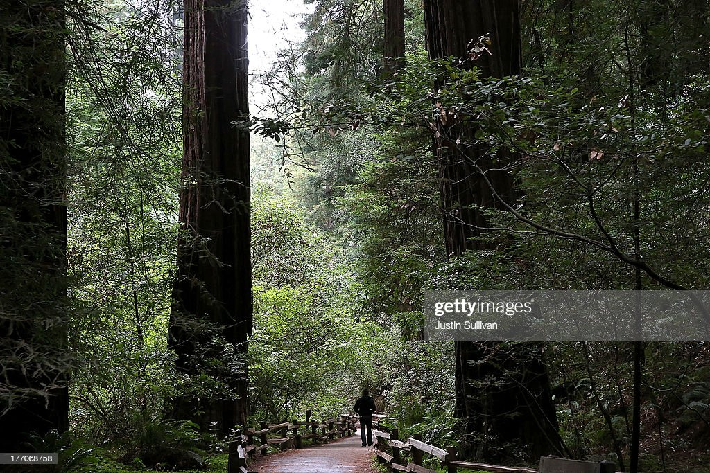 A vistor walks along a path of Coastal Redwood trees at Muir Woods National Monument on August 20, 2013 in Mill Valley, California. A four-year study by the Save the Redwoods League called 'the Redwoods and Climate Change Initiative' found that due to changing environmental conditions, California's Coast Redwoods and Giant Sequoias are experiencing an unprecedented growth surge and have produced more wood over the past century than any other time in their lives.