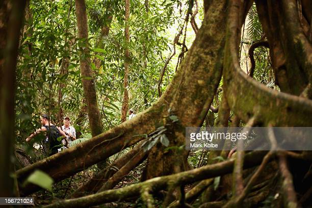 Vistors are seen through a tangle of roots as they walk through the world heritage listed daintree rainforest on November 14 2012 in Mossman Gorge...
