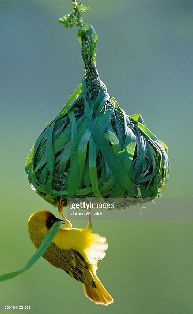 Vitelline masked weaver building nest, close-up : Stock Photo