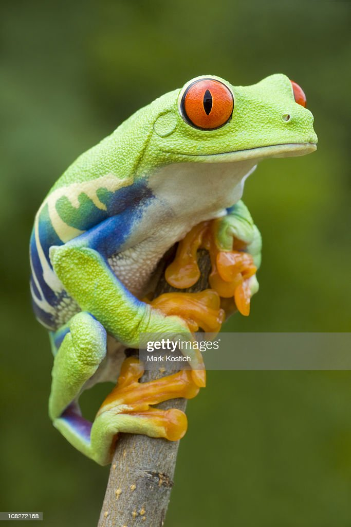 Vivid Color - Red-eyed Tree Frog : Stock Photo