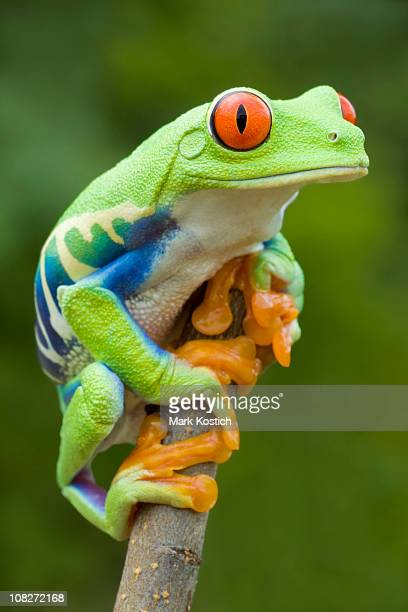 Bunte Farbe-Red-eyed Tree Frog