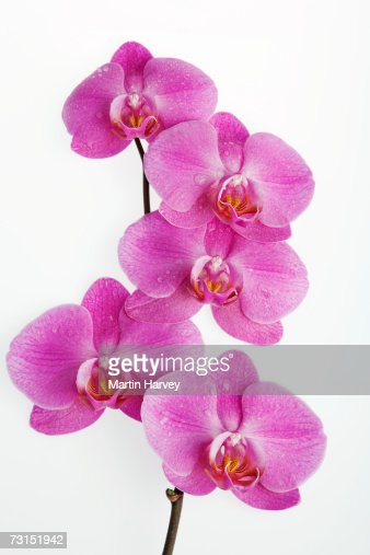 pink orchids close up - photo #20