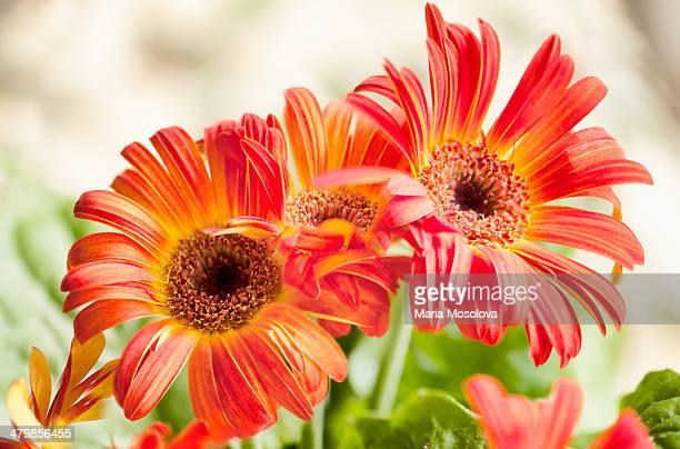 Vivid Red Gerbera Daisy Flower Trio