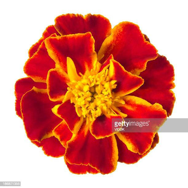 Vivid red marigold isolated on white