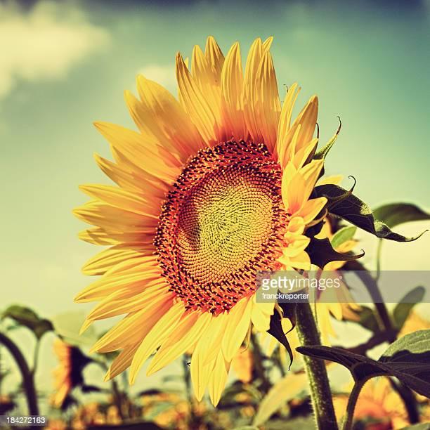 vivid sunflower portrait at dusk
