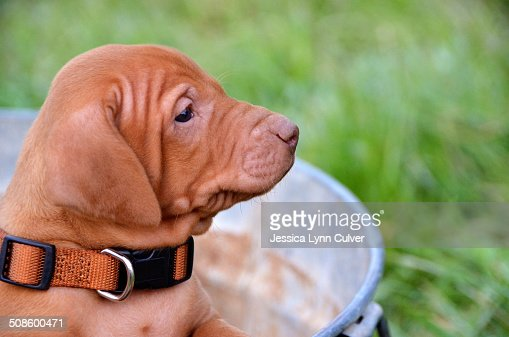 Vizlsa puppy dog in a rusty galvanized pail : Stock Photo
