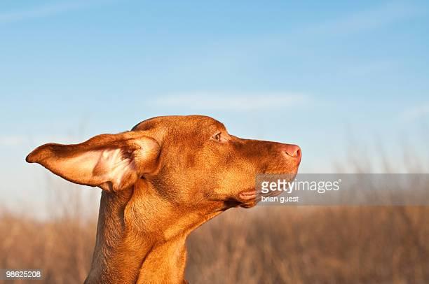 Vizsla Dog on a Windy Day