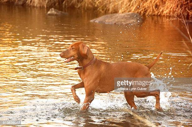 Vizsla dog playing in a shallow creek