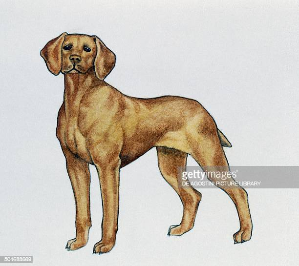 Vizsla or Hungarian Pointer Canidae drawing