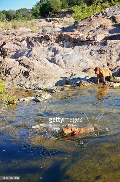 Vizsla puppies swimming and playing in a creek