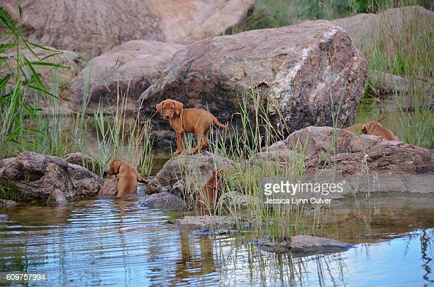 Vizsla puppies swimming in a creek while one puppy perches on a rock