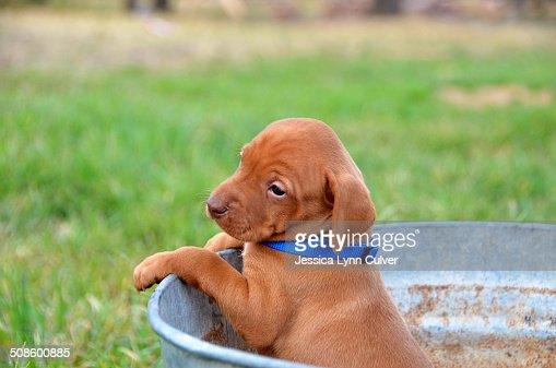 Vizsla puppy dog in a rusty bucket : Foto de stock