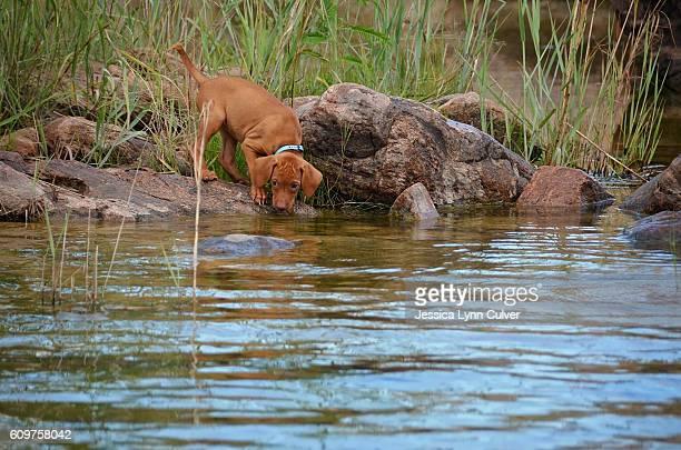 Vizsla puppy dog playing and splashing in a creek