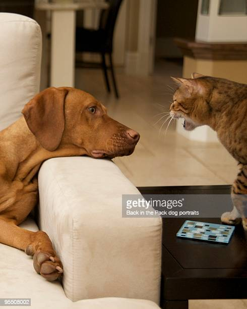 Vizsla puppy dog sitting on couch with angry cat