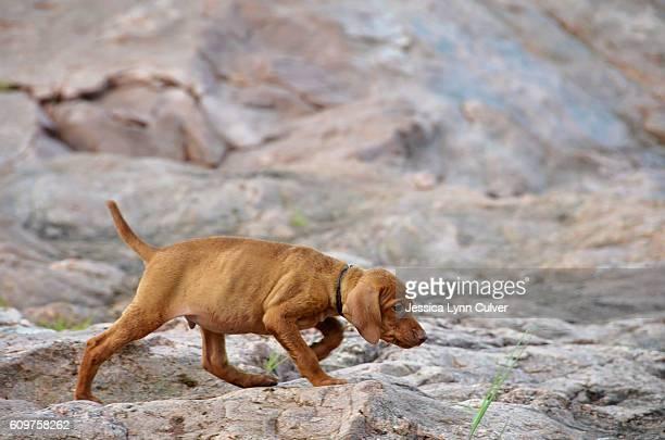 A Vizsla puppy dog walking over rocks