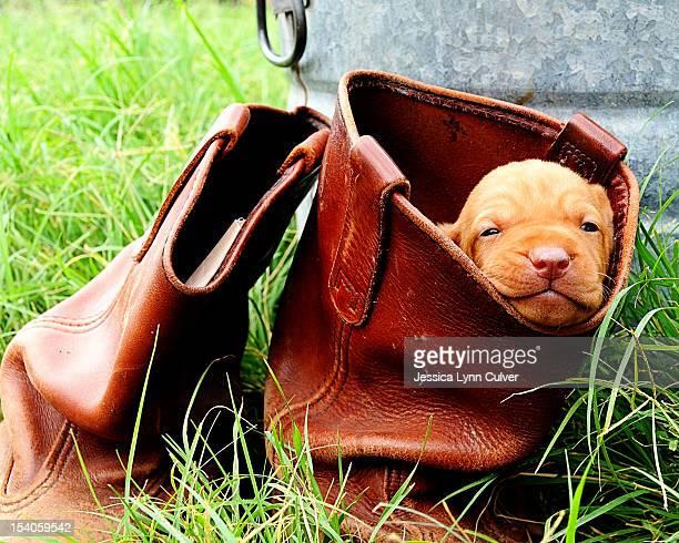 Vizsla Puppy in a Cowboy Boot